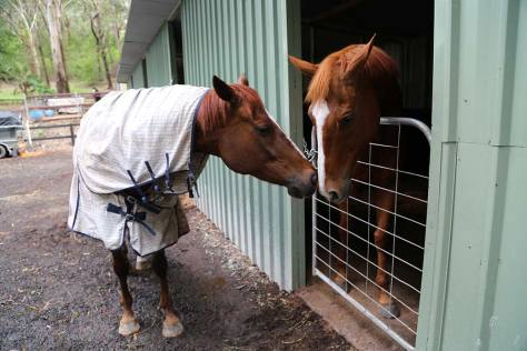 Rosie and Leo, an agistee horse, say hello to each other.