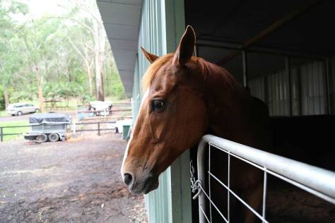 Rosie, a chestnut thoroughbred, in a stall.