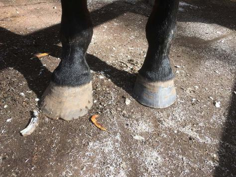An unshaped hoof at left in the photo (with a piece of trimmed hoof just to the left of it) and a neatly filed hoof at right.