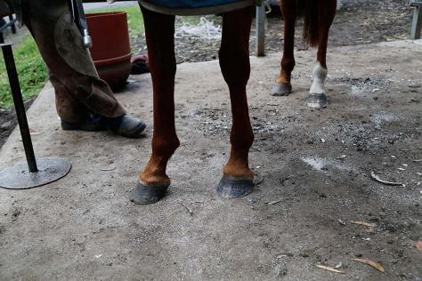 You can see the difference between the front hoof at left in the photo which has not yet been filed, and the hoof at right which has been filed and is already looking much neater.