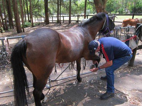 Ken manipulating the foreleg of a horse