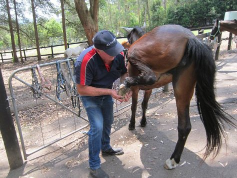 Ken manipulating the  hind leg of a horse. © Irma Havlicek